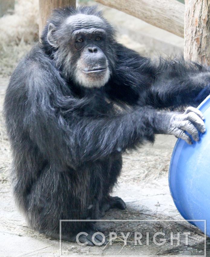 Chimpanzee 1