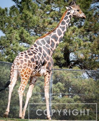 Reticulated Giraffe 6
