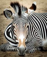 Grevy's Zebra 1