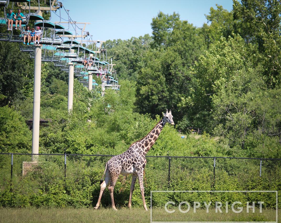 Reticulated Giraffe 9
