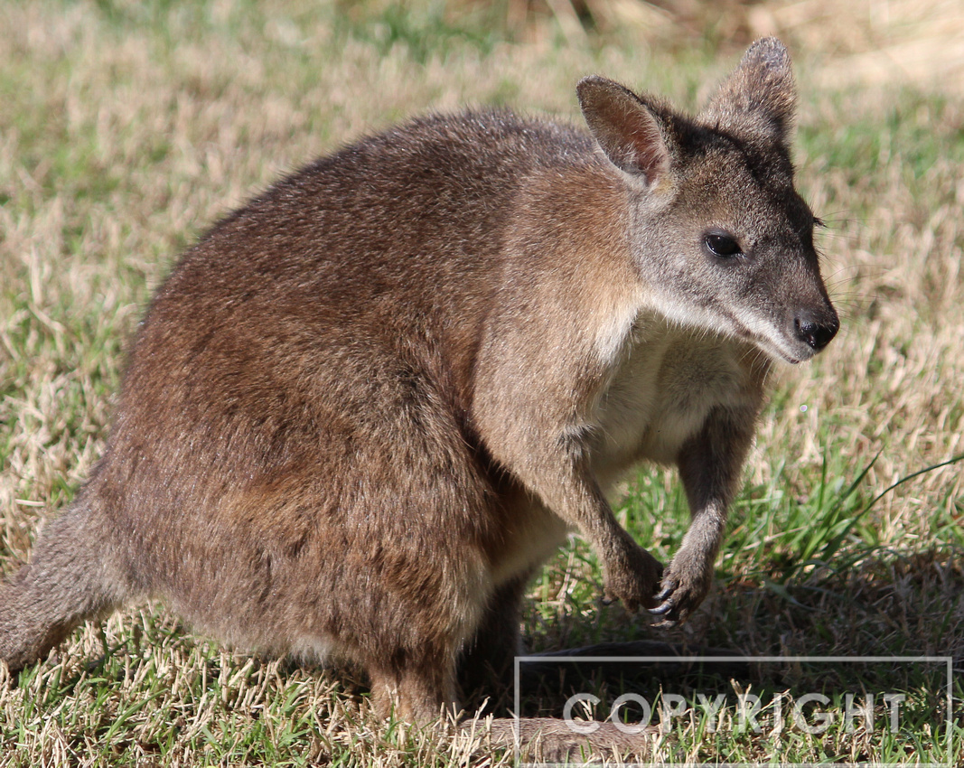 Wallaby 1