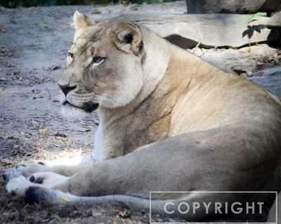 African Lion 26