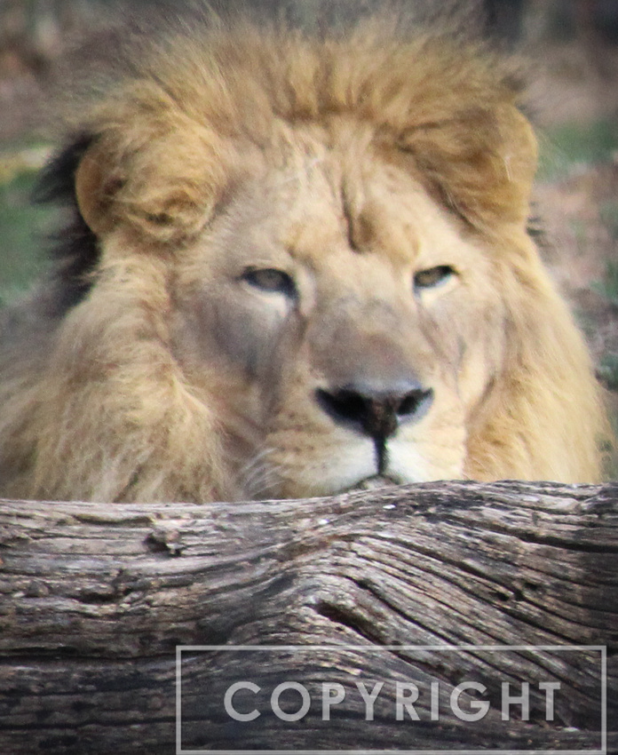 African Lion 6