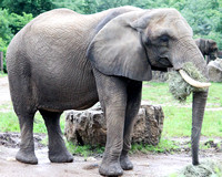African Elephant 10
