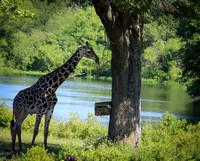 Reticulated Giraffe 12