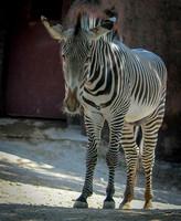 Grevy's Zebra 17