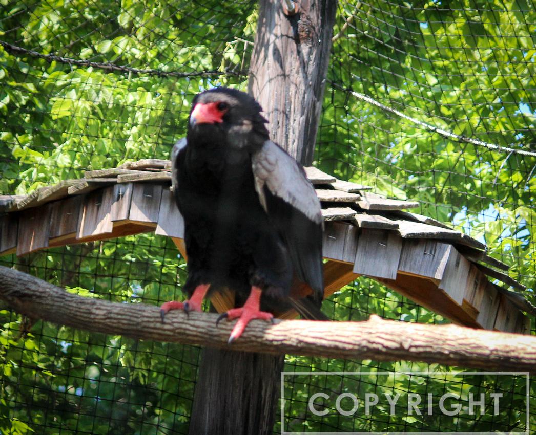 Bateleur Eagle 3