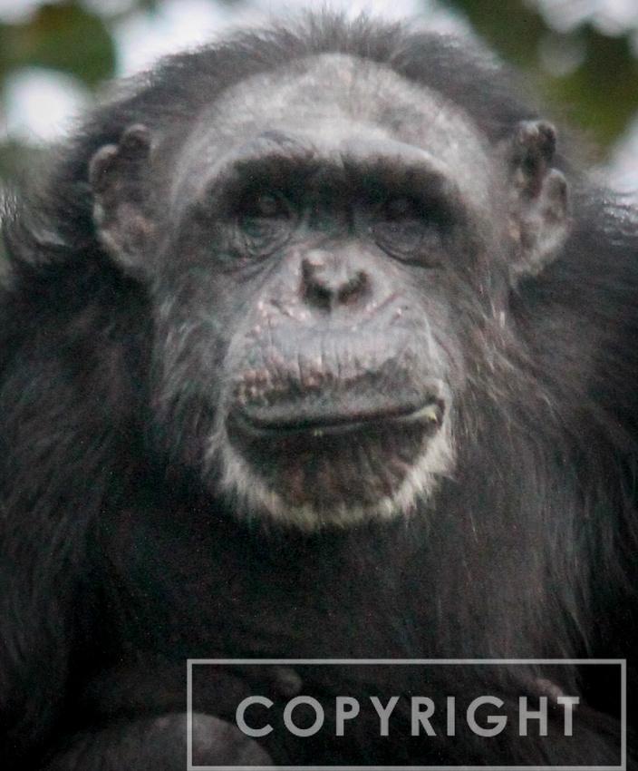 Chimpanzee 11