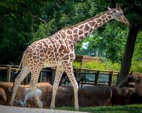 Reticulated Giraffe 33