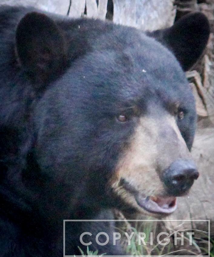 North American Black Bear 6