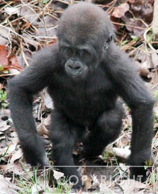 Western Lowland Gorilla 7